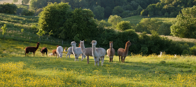sheepscombe-house-alpacas