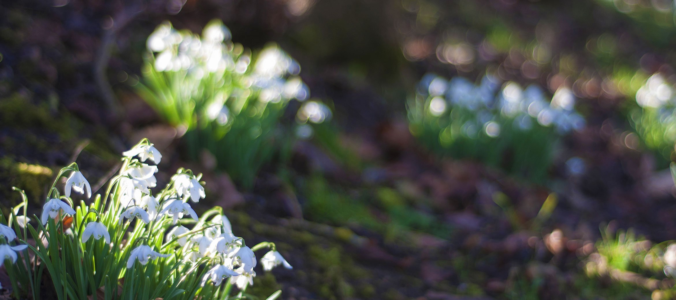 dryhill-cotswold-cottage-snowdrops