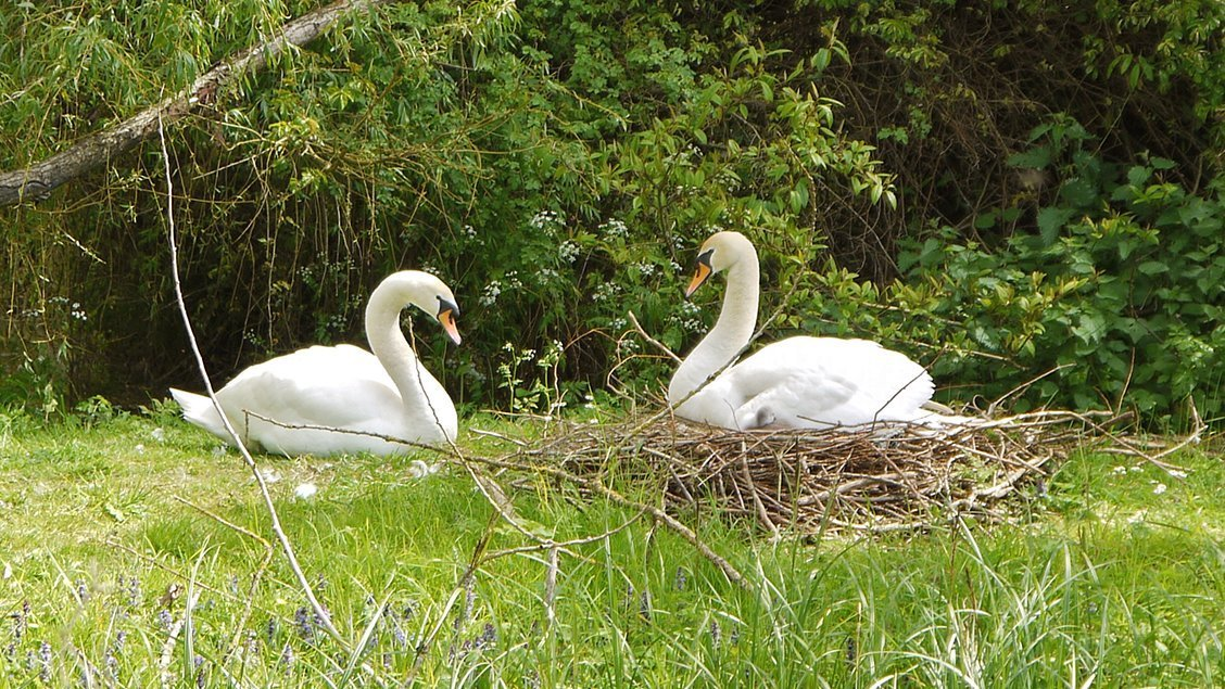 bruern-holiday-cottages-nesting-swans