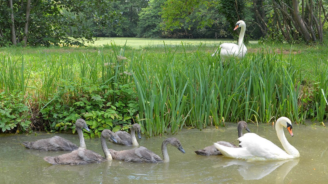 bruern-holiday-cottages-breeding-swans