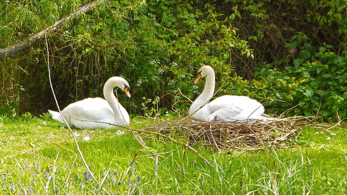 bruern-holiday-cottages-nesting-swans